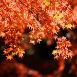 2018昭和記念公園の紅葉の見頃の時期や駐車場、デートコースなどの情報まとめ
